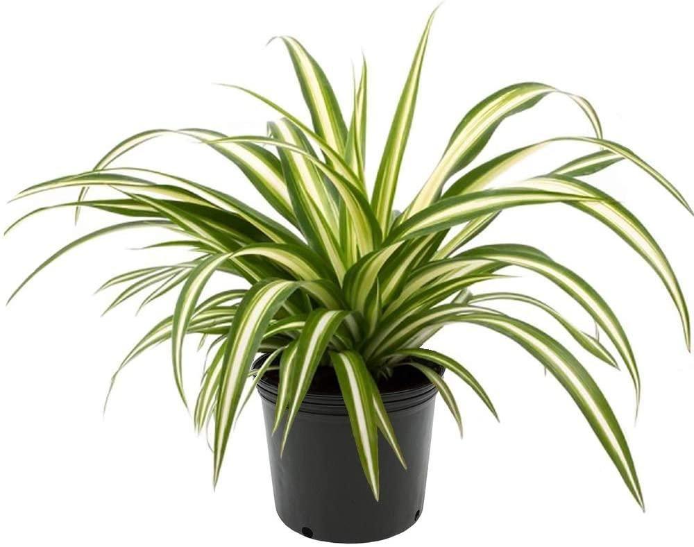 zielistka oczyszcza powietrze- blog VBreathe